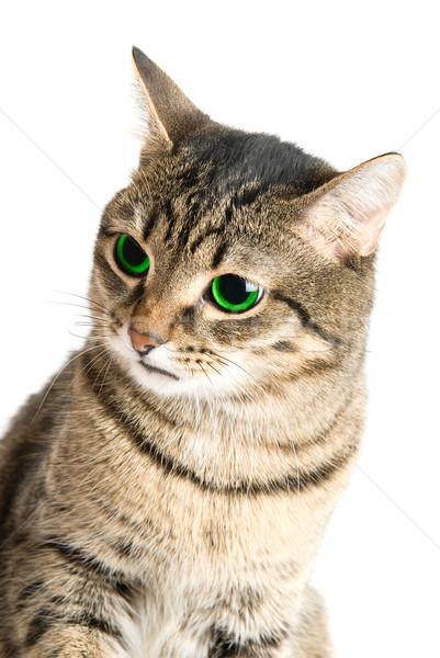 Zöld szem macska szépség zöld szemek fehér Stock fotó © olira
