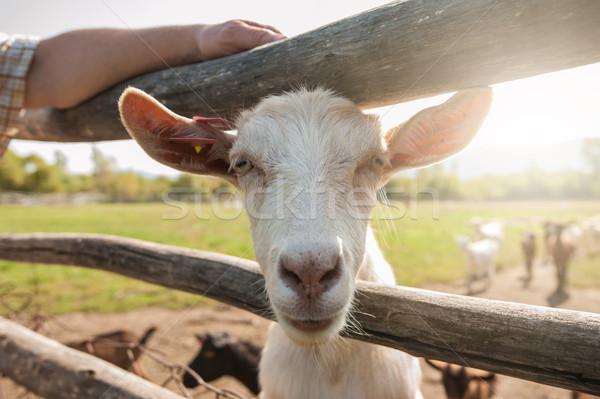 white goat closeup Stock photo © olira