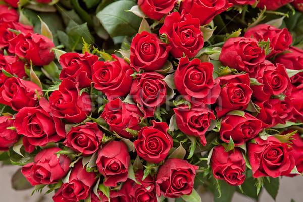 Roses rouge naturelles amour nature feuille Photo stock © olira