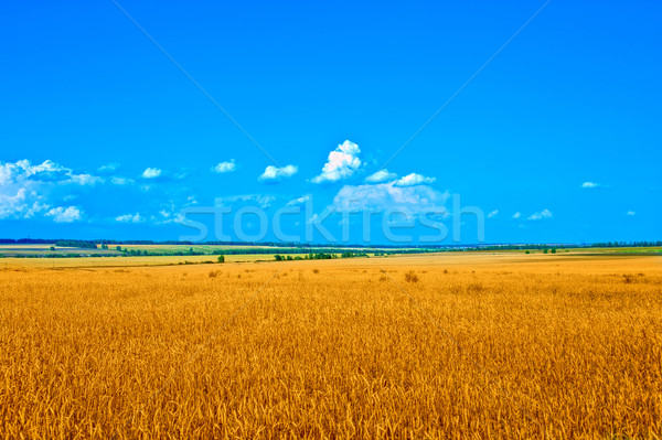 Arany búzamező kék ég természet háttér nyár Stock fotó © olira