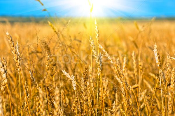 麦畑 耳 自然 背景 夏 フィールド ストックフォト © olira
