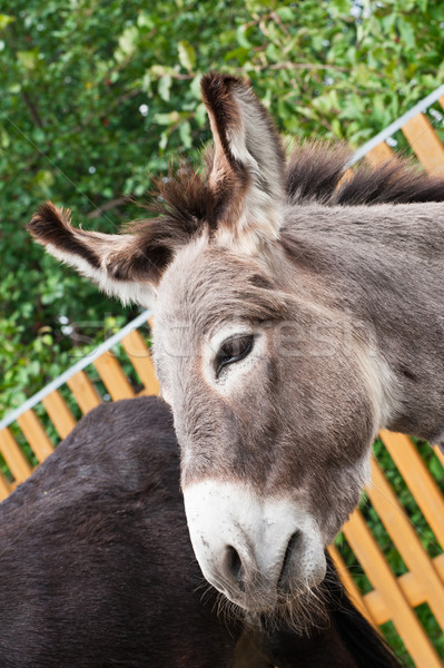 Donkey Stock photo © olira