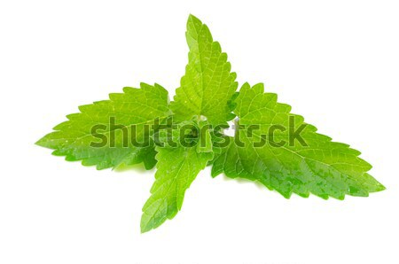 Stock photo: Green fresh mint