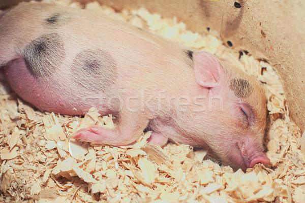 sleeping piggy in sawdust Stock photo © olira