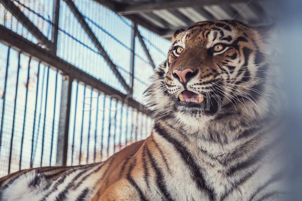 Portrait of the leopard Stock photo © olira