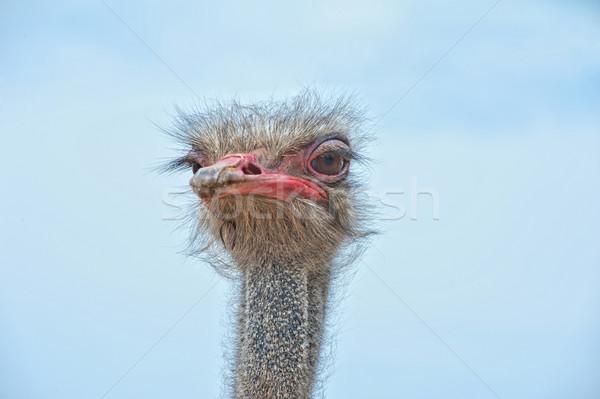 страус портрет природы фон птица Сток-фото © olira