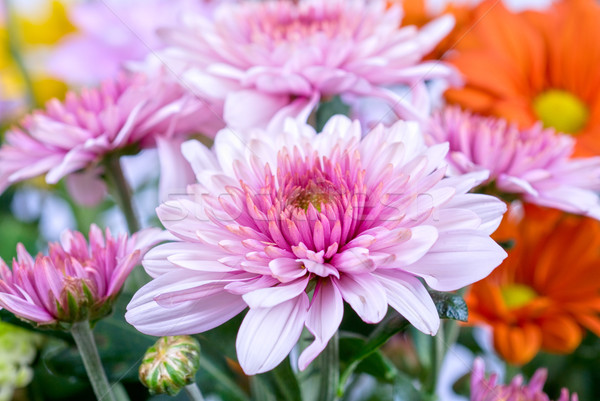 chrysanthemum Stock photo © olira