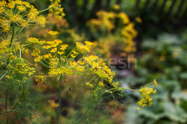 Fresh harvesting dill Stock photo © olira