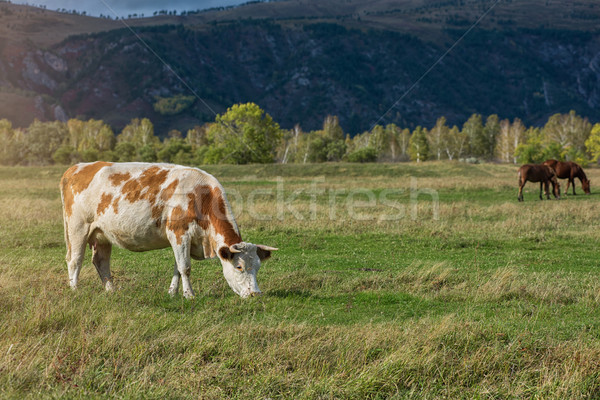 Grazing cow in mountain ranch Stock photo © olira