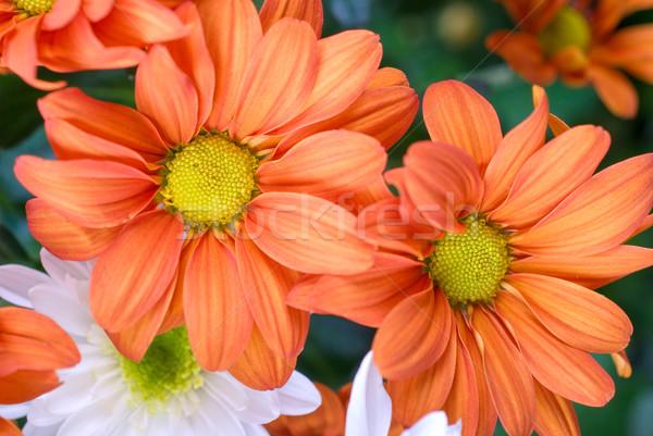 Narancs krizantém szépség virágok közelkép virág Stock fotó © olira