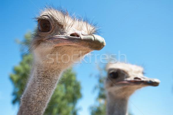 Autruche portrait nature fond oiseau Photo stock © olira