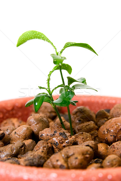 Close-up of baby plant in small flower pot. Stock photo © olira