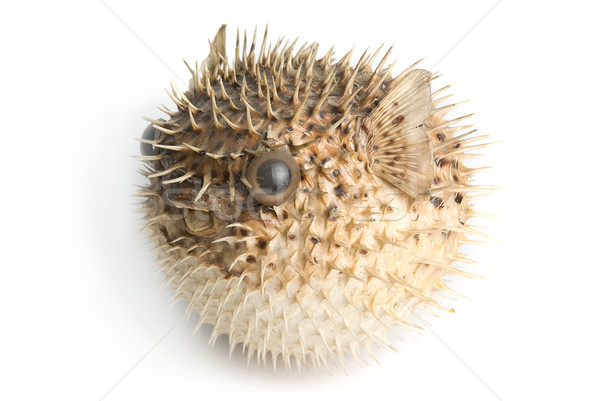 Porcupine fish Stock photo © olira