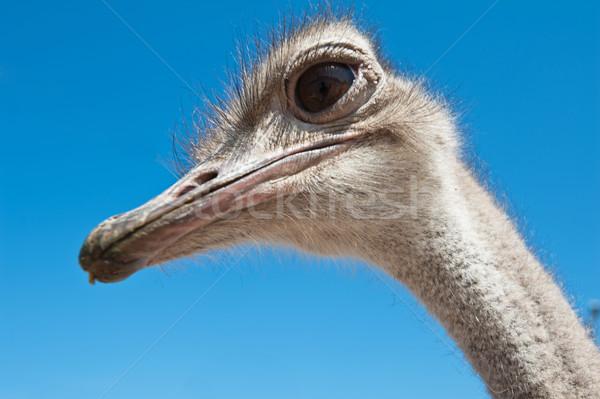 Strauß Porträt Natur Hintergrund Vogel Stock foto © olira