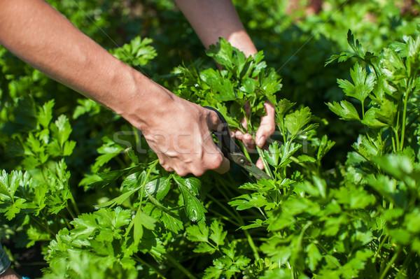 Taze hasat maydanoz eller makas yaprak Stok fotoğraf © olira