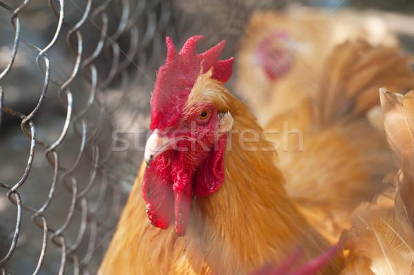 петух петух зеленый луговой органический фермы Сток-фото © olira