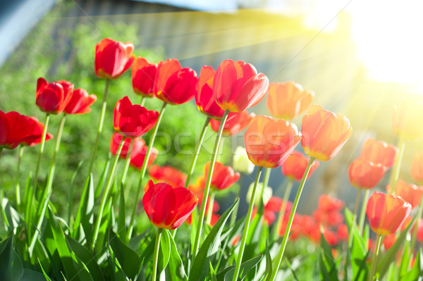 тюльпаны области красный цветок весны Сток-фото © olira