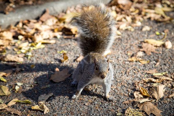 Squirrel in New York public park Stock photo © oliverfoerstner