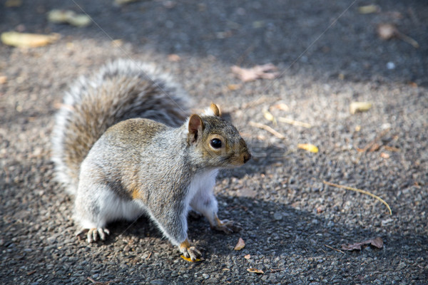 Eastern grey squirrel in a New York public park Stock photo © oliverfoerstner