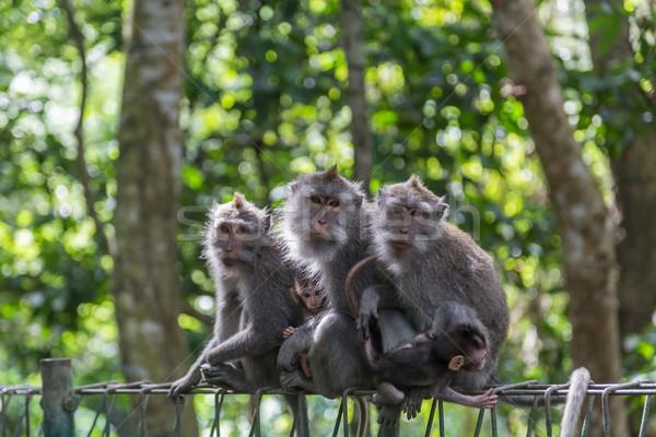 Majom család fénykép ül kerítés szent Stock fotó © oliverfoerstner