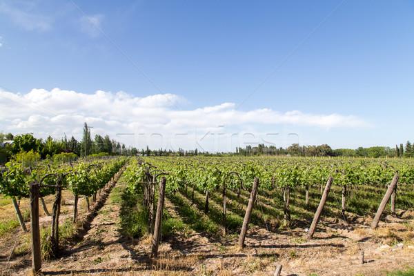 Belle vignoble Argentine vert région ciel Photo stock © oliverfoerstner