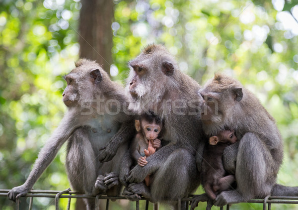 Monkey Family in Ubud, Indonesia Stock photo © oliverfoerstner