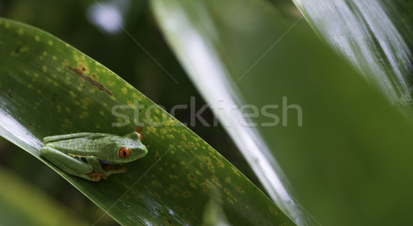 Agalychnis Callidryas, Red Eyed Tree Frog Stock photo © olivier_le_moal