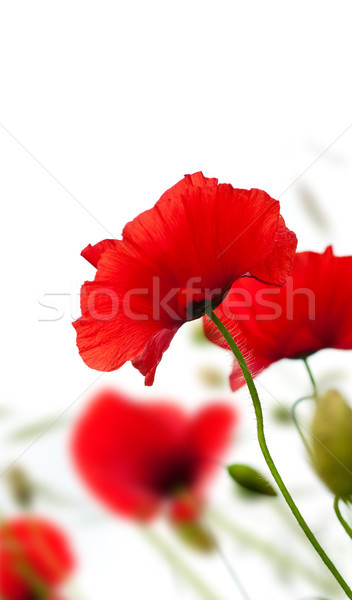 poppies isolated on white Stock photo © olivier_le_moal