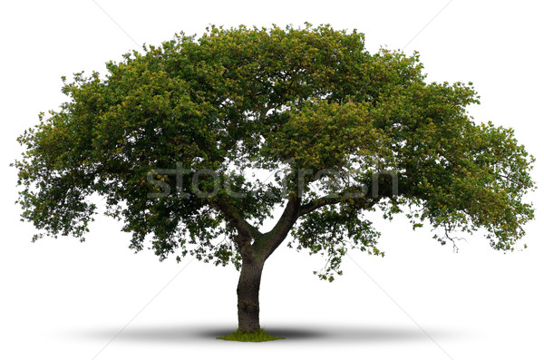 entire green tree over white Stock photo © olivier_le_moal