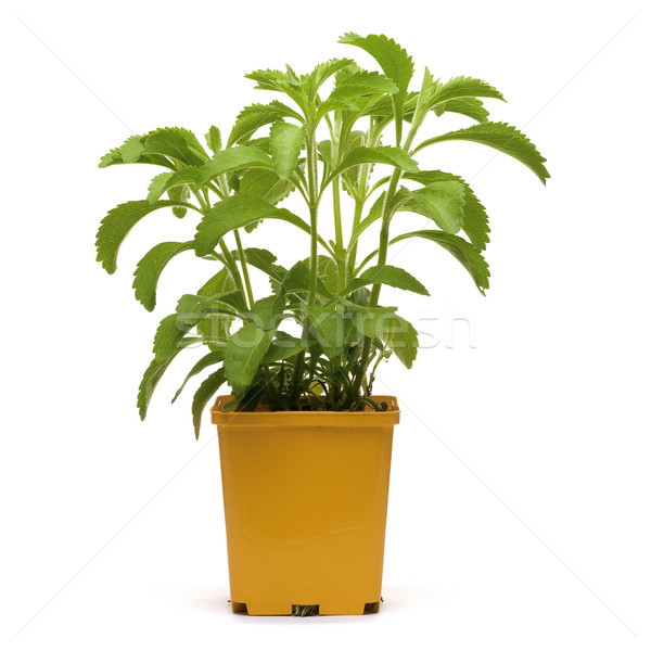 stevia plan into a bucklet Stock photo © olivier_le_moal