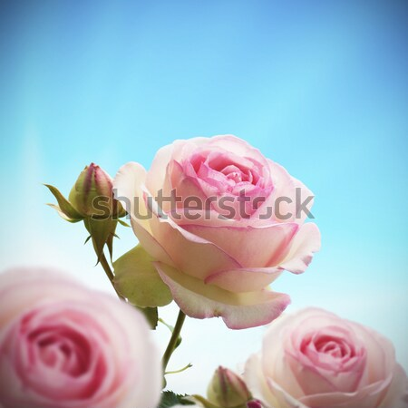 romantic pink roses flowers background Stock photo © olivier_le_moal