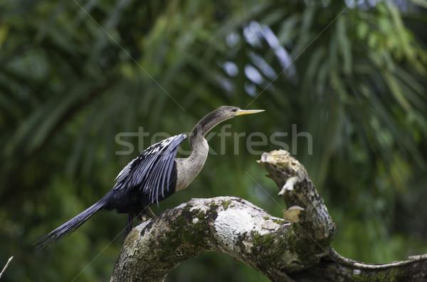 Yaban hayatı Kostarika tropikal kuş ölü şube Stok fotoğraf © olivier_le_moal