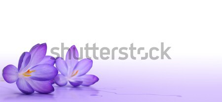 crocus flower  Stock photo © olivier_le_moal