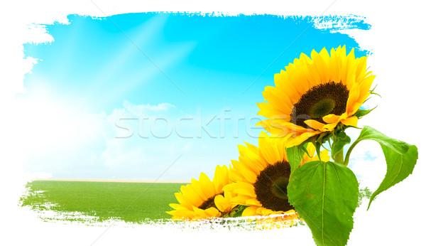 Landscape - sunflowers, green land, blue sky  Stock photo © olivier_le_moal