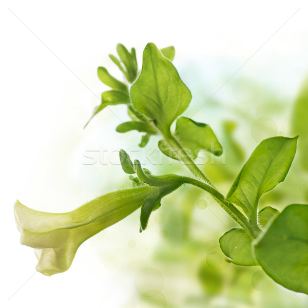 petunia pendula over green and white background Stock photo © olivier_le_moal