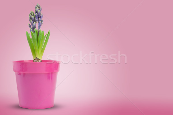 fleur jacinthe (hyacinthe) hyacinthussur fond rose Stock photo © olivier_le_moal
