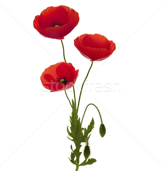 three poppies bouquet Stock photo © olivier_le_moal