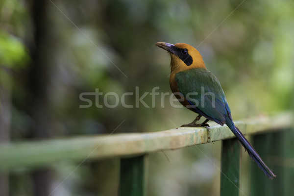 Rufous Motmot, Baryphthengus Martii. Wildlife in Costa Rica Stock photo © olivier_le_moal