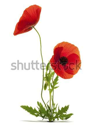 Papaver rhoeas, red poppies over white background with shadow and a hole Stock photo © olivier_le_moal