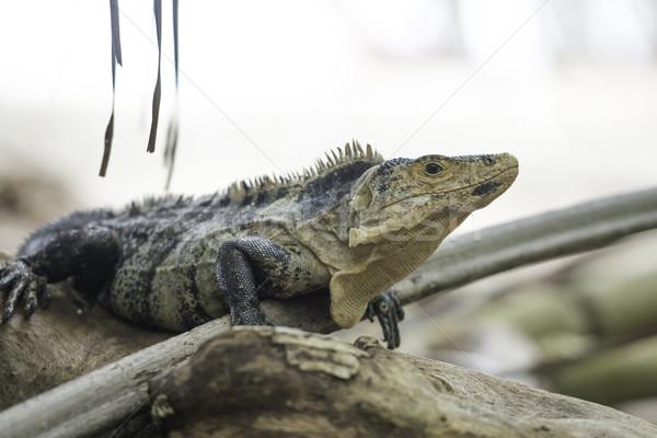 Vadvilág fekete Costa Rica trópusi erdő természet Stock fotó © olivier_le_moal