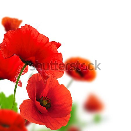 Red poppies flowers Stock photo © olivier_le_moal