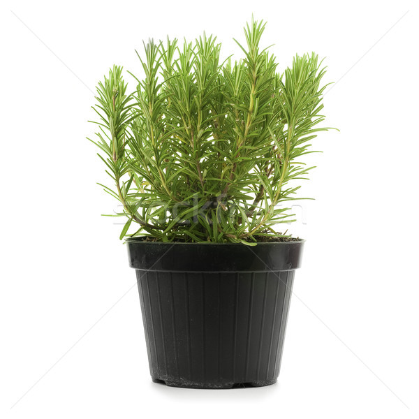 rosemary and pot, rosmarinus officinalis Stock photo © olivier_le_moal