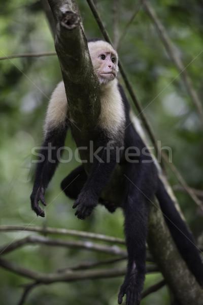 Gracile Capuchin Monkey Stock photo © olivier_le_moal