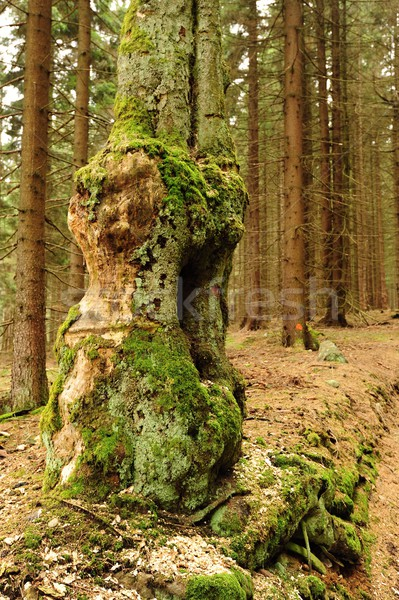 Old forest Stock photo © ondrej83