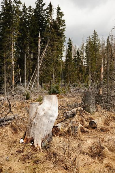 Velho quebrado árvores primavera textura árvore Foto stock © ondrej83