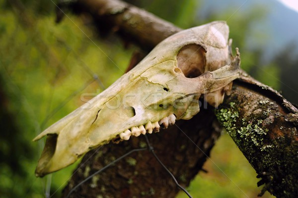 Stock photo: Animal skull