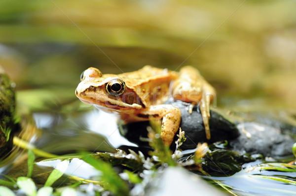 небольшой коричневый лягушка красивой мало глаза Сток-фото © ondrej83