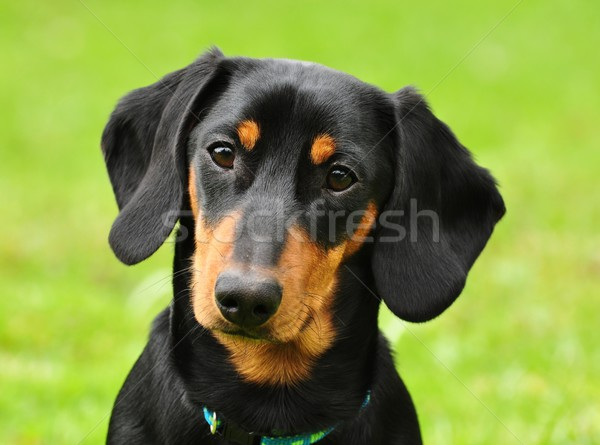 Dachshund Stock photo © ondrej83