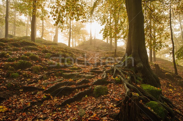 Autumn forest with fog Stock photo © ondrej83