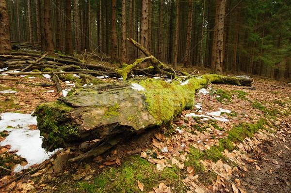 Vecchio foresta selvatico natura alberi Repubblica Ceca Foto d'archivio © ondrej83